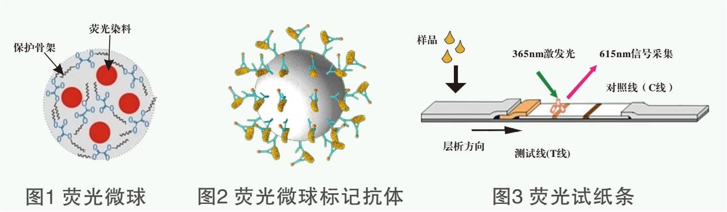 黃曲黴毒素熒光定量檢測試紙條原理圖